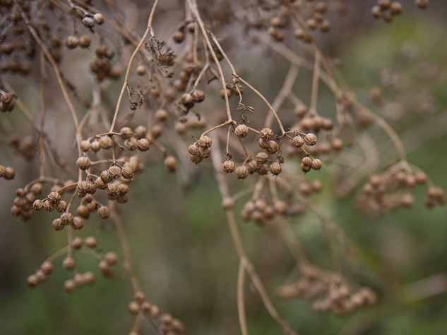 Cilantro seed on a dried plant