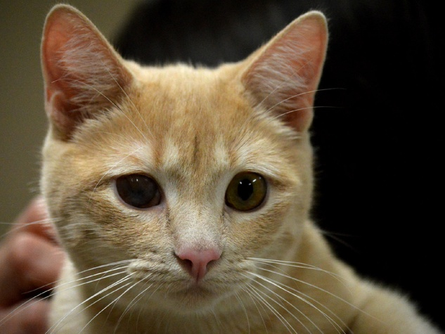 pet of the week from Austin Pets Alive! Van Halen cat