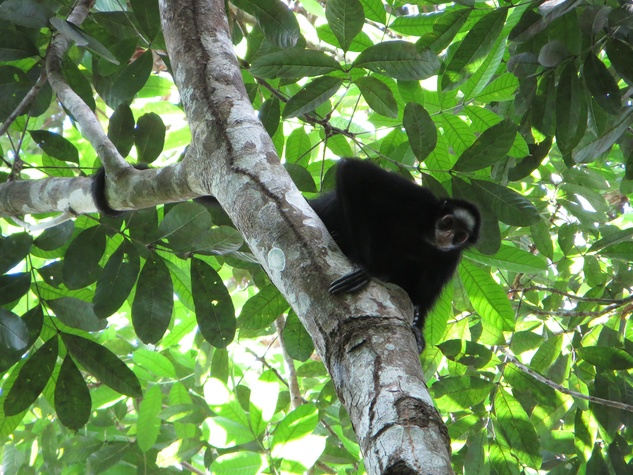 Stephen Lorenz Southern Amazon Brazil September 2013 A White-whiskered Spider Monkey takes a closer look