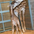 5 Houston Zoo Masai giraffe born to Tyra February 2014
