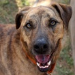 headshot of ApA! pet of the week dog Apache
