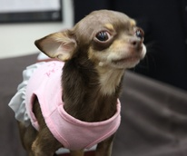 News_Lola_small dog_Houston_tutu
