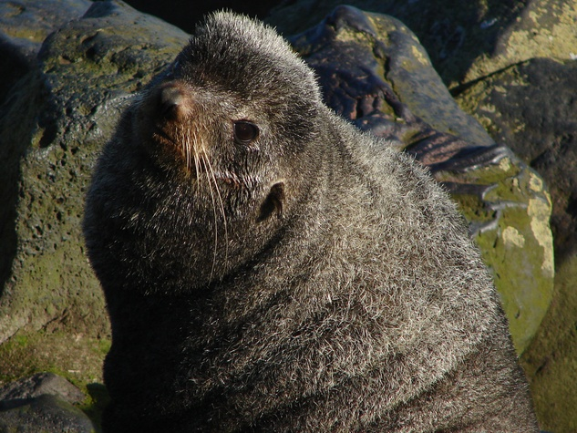 Stephan Lorenz Channel Islands January 2014 Occasionally Northern Fur Seals can be seen