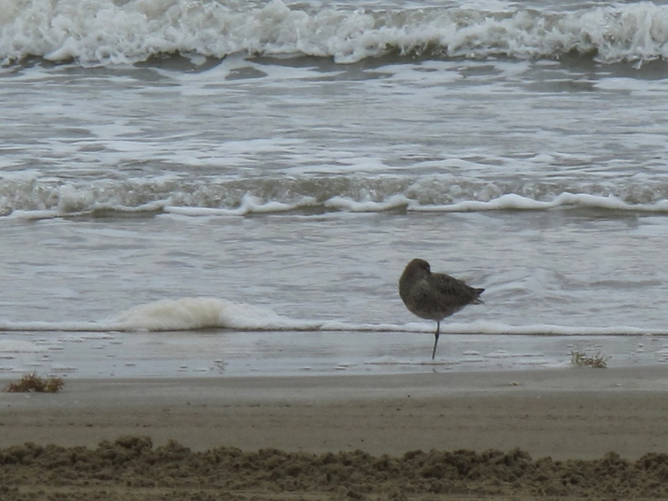 9 Katie Oxford Galveston oil spill Part 4 May 2014 Willet bathing - Bolivar peninsula