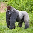 Houston Zoo gorillas profiles February 2015 Chaka