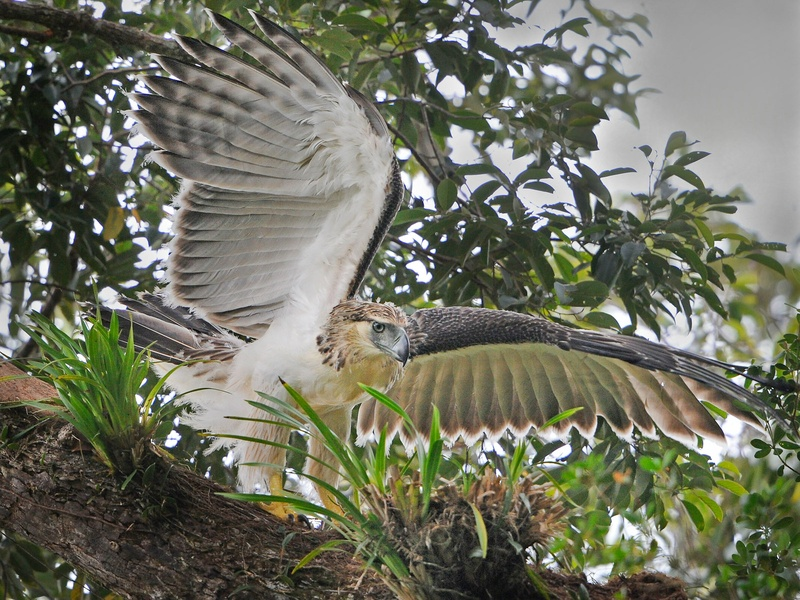 News_Philippine eagle