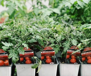 Tomato plants at Dallas Farmers Market