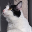 Peanut the cat looking up Pet of the Week Austin Pets Alive! apa