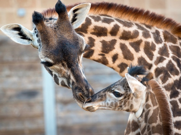 New giraffe at Houston Zoo public debut