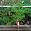 Planted Edible Earth garden Coltivare carrots