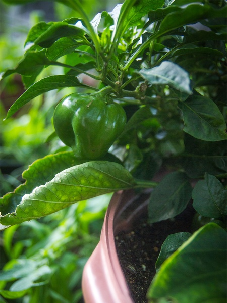 Photo of sweet peppers growing in a container