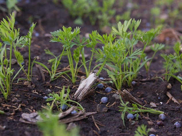 Photo of carrot seedlings