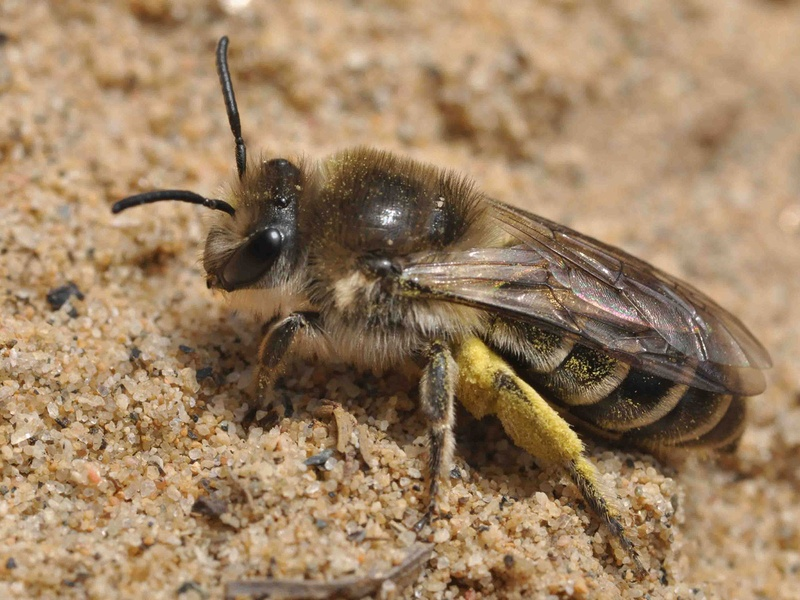 Native bees of north america