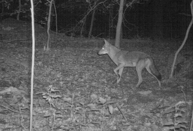 Search for coyote in New York