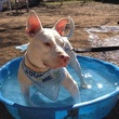 Morgan the APA! pet of the week dog loves her some pool time.