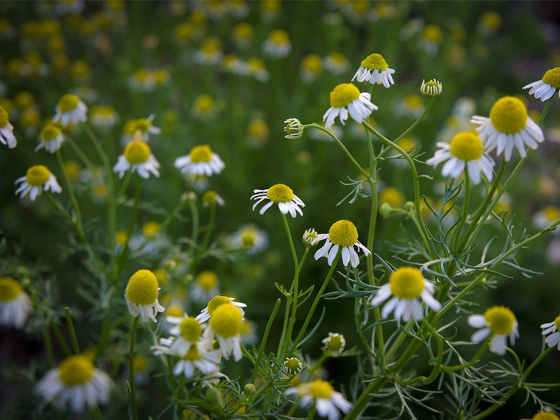Photo of chamomile growing in a garden