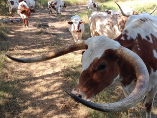 Longhorn Beef Co. longhorns cattle grass fed