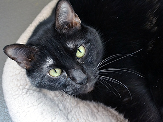 Adoptable Shadow the cat from SPCA of Texas