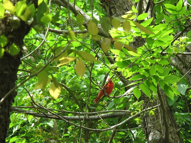 4. Katie Galveston oil spill Part 3 Interconnection April 2014 Summer Tanager at Bird Sanctuary in High Island