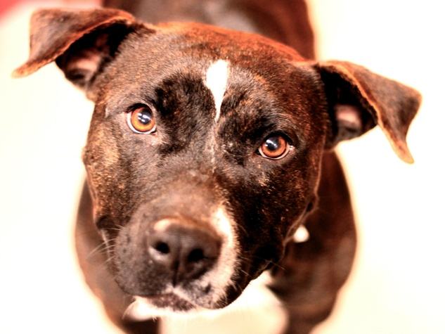 Hannah the pit bull at the SPCA of Texas