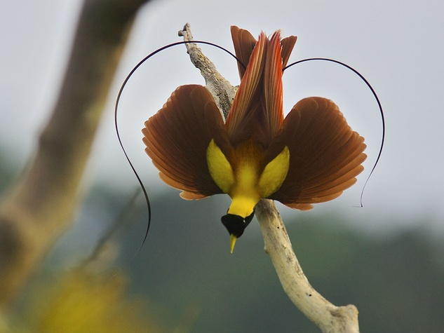 Perot Museum presents Birds of Paradise