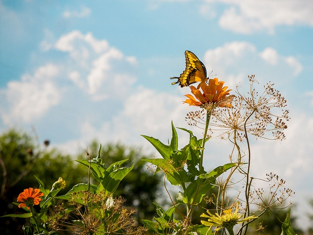 Photo of swallowtail butterfly on zinnia
