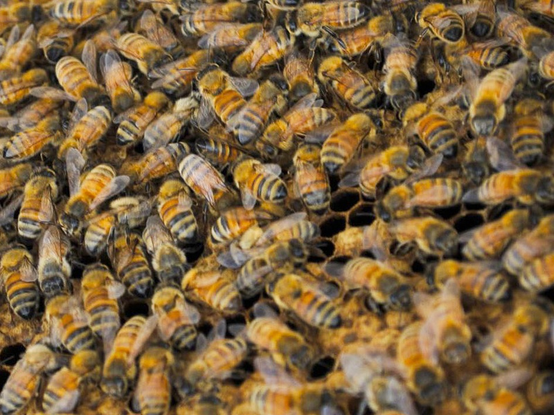 Killer Bees Africanized bees nest