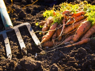 Picture of carrots and spade fork
