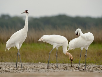 Aransas Wildlife Refuge whooping cranes birds