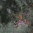 Photo of robin in nest