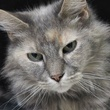 headshot of Billy Jean the cat from Austin Pets Alive! apa!