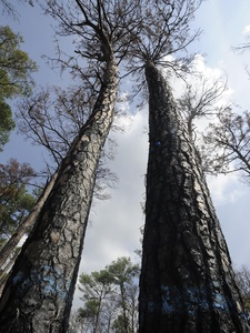 Austin Photo: News_kevin_TPWD_Bastrop tree replanting_September 2012_burned trees