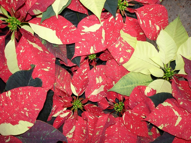 Joshua's Native Plants verigated poinsettia December 2014 holiday gift
