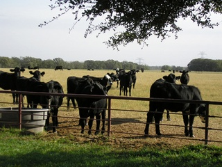 Rosewood cattle