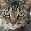 Jingles cat pet of the week of APA! headshot