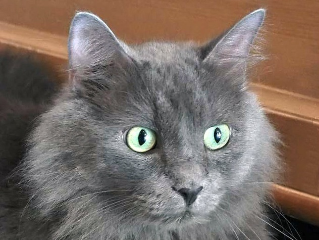 headshot Junior the russian blue cat at APA!