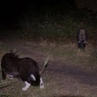 A cat and a skunk investigate each other