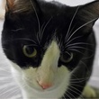 headshot of Austin Pets Alive pet of the week Zinger the cat