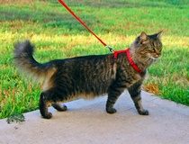 Teresa Gubbins: City of Addison rules against leash law for cats