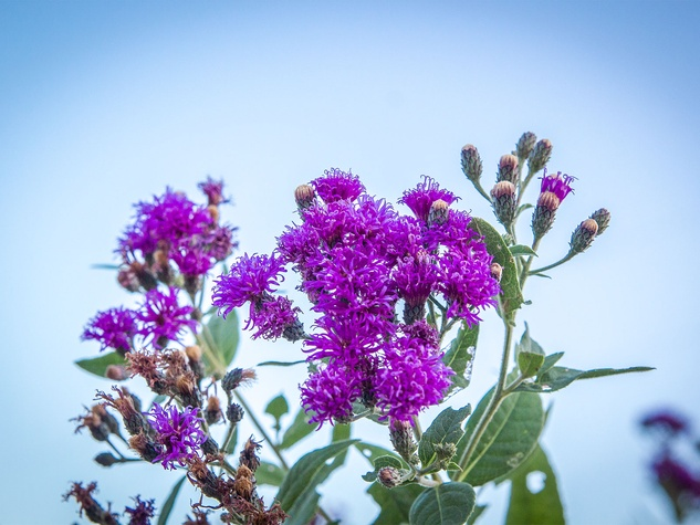 Photo of ironweed