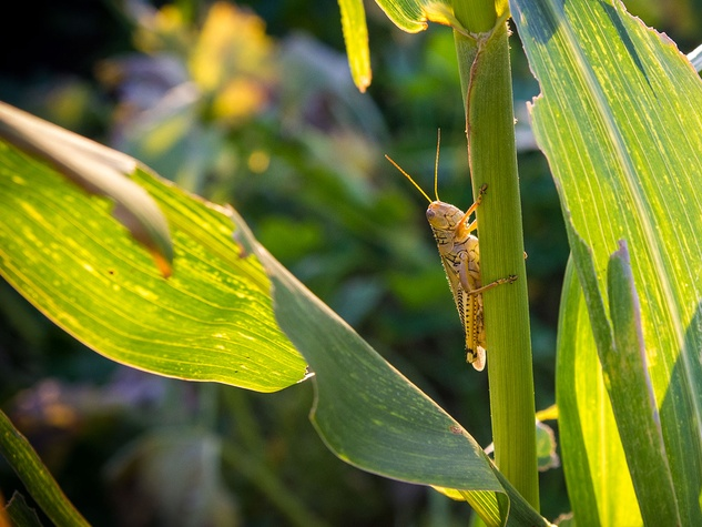 Photo of grasshopper on corn stalk