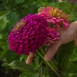 Zinnias in North Texas garden