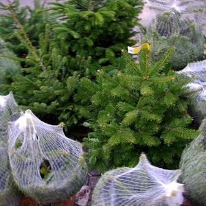 Where To Recycle Your Christmas Tree For Free In Austin
