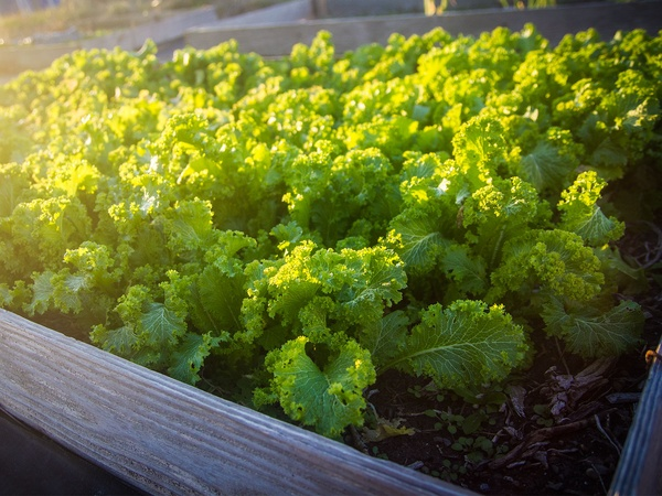 Vegetable Gardening in North Central Texas