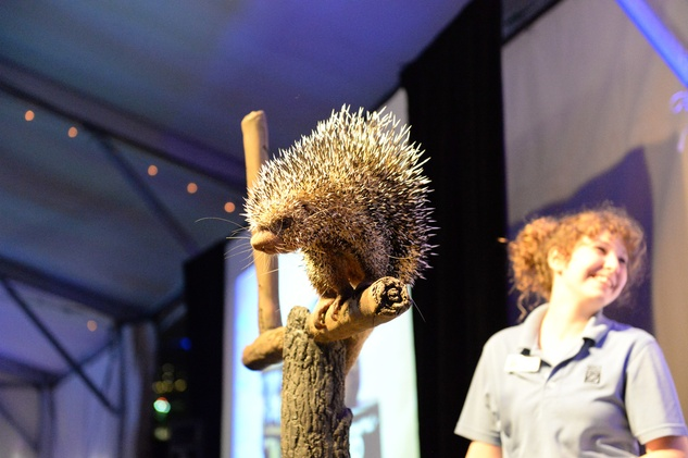 188 Norman the prehensile-tailed porcupine at the Houston Zoo Ambassadors Gala February 2015