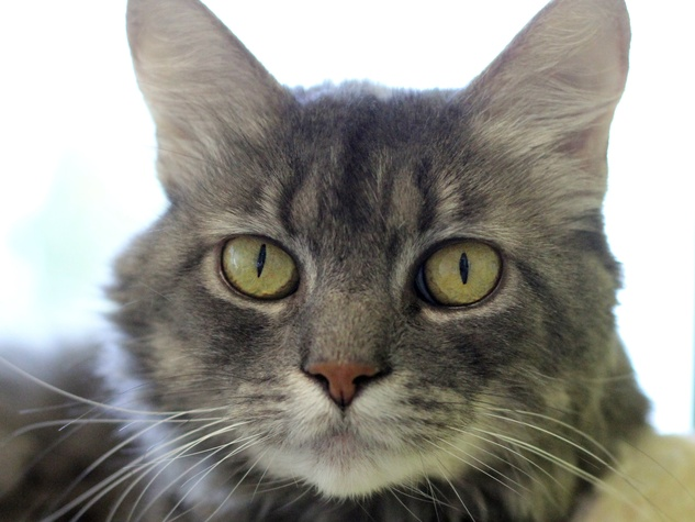 Cinderella the cat at SPCA of Texas