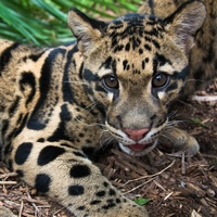 purr fectly adorable the zoo s new endangered clouded leopard cub