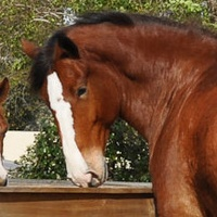 News_Clydesdales