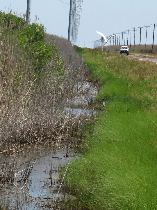 5 Katie Oxford Galveston oil spill Part 4 May 2014 Ditch along JCT 124 facing north. Great Egret and Night Heron below