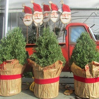 Ready to Jingle plants as gifts December 2014 cone trees at Buchanan's